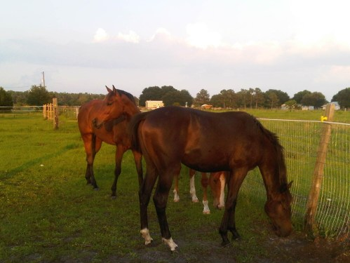 Summer evening in the paddock