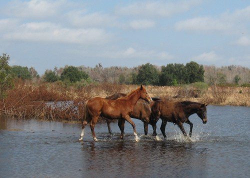 Horses fall in the pond