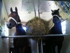 Horses in van
