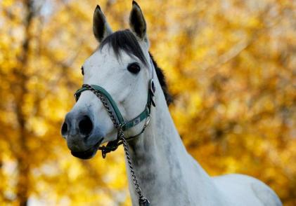 grey thoroughbred mare
