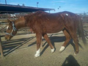 Thoroughbred, auction, rescue
