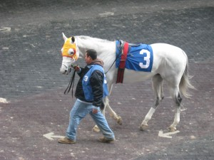 Stud Muffin, gray Thoroughbred racehorse